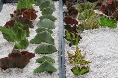 propagar-begonias-por-esquejes-de-hojas-7